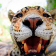 Live Leopard portrait close up front view - Stock Photo