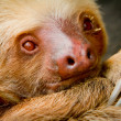 A young awake sloth in Ecuador South America - Stock Photo