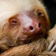 Stock Photo: Young sleeping sloth, high detail