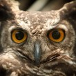 Owl portrait staring at camera close up - Stock Photo