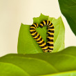 Two caterpillars in the shape of a heart on a leaf - Stock Photo