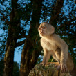 Royalty-Free Stock Photo: Little capuchin Monkey in the wild starring at the sunset