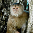 Close up portrait of staring old monkey in the wild - Stock Photo