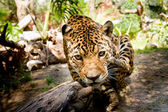 Large male jaguar jumping towards camera — Stock Photo