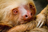 A young awake sloth in Ecuador South America — Stock Photo