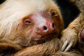 Young sleeping sloth, high detail — Stock fotografie