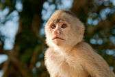 Little capuchin Monkey in the wild starring at the sunset — Stock Photo