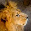 Profile of a relaxed African lion — Stock Photo