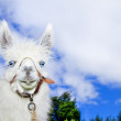 Royalty-Free Stock Photo: Lama with blue skyes and clowds