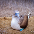 Stock Photo: Blue-footed Booby, Islde lPlata, Ecuador