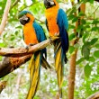Stock Photo: Blue-and-Yellow Macaw (Arararauna)
