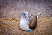 Blå-footed booby, isla de la plata, ecuador — Stockfoto