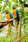 Blue-and-Yellow Macaw (Ara ararauna) — Stock Photo