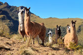 Alpacas at the Pasochoa volcano, Ecuador — Stock Photo