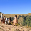South America Alpaca and llama,Pasochoa Ecuador - Stock Photo