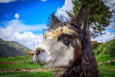 Portrait of spitting llama — Stock Photo
