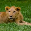 Lion cub lying alone in the grass — Stock Photo #23933427