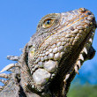 Stock Photo: Land Iguanclose up head with blue skyes