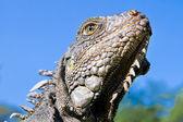 Land Iguana close up head with blue skyes — Stock Photo