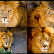 Lion Set of pictures — Stock Photo