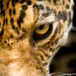 Leopard portrait close up focus on eye — Stock Photo #29396235