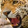 Roaring Jaguar — Stock Photo
