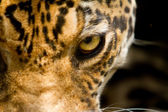 Leopard portrait close up focus on eye — Stock Photo