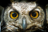 Owl portrait staring at camera close up — Stock Photo