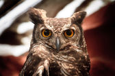 Owl portrait staring at camera — Stock Photo