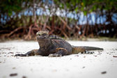 Giant Iguanas with Natural Background — Stock Photo