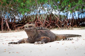 Galapagos iguana on the beach — Stock Photo