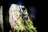 アマゾンで弾丸の蟻 — ストック写真