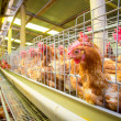 Poultry farm hens and eggs, aviary — Stock Photo #29449881