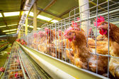Poultry farm hens and eggs, aviary — Stock Photo