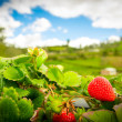 Organic strawberry fiels — Stock Photo