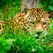 Jaguar in wildlife park of Ecuador — Stock Photo