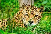 Jaguar - Panthera onca — Stock Photo