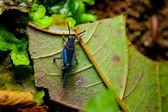 Blue Grasshopper — Stock fotografie