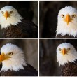 Portrait of a bald eagle — Stock Photo