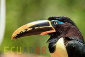 Toucan with banner of Ecuador — Stock Photo
