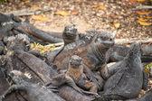 Legwan morski, wyspy galapagos, ekwador — Zdjęcie stockowe
