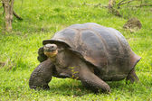 Giant Galapagos turtle, Ecuador, South America — Stock Photo