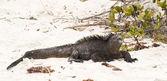 Meerechse auf den galapagos inseln — Stockfoto