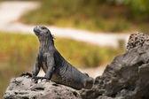 Leguán mořský na galapágy — Stock fotografie