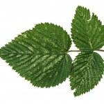 Jungle leaf white background — Stock Photo #45477489