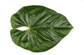 Jungle leaf white background — Stock Photo