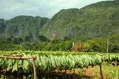 Tobacco fields in cuba — Stock Photo