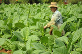 Man working in tobacco plantation in Cuba — Stock Photo