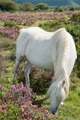 Wild horse grazing on heather moors in National Park — Stock Photo