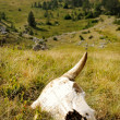 Cattle skull in the wild - Stock Photo